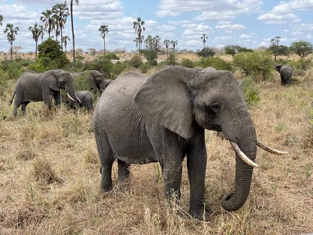 Elefantes en Tarangire. Por Anna