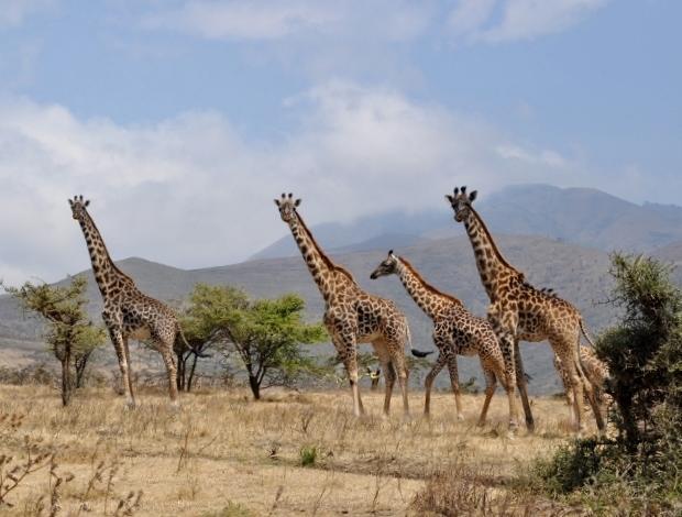 Girafas en Serengeti. Por Marisa y Jose