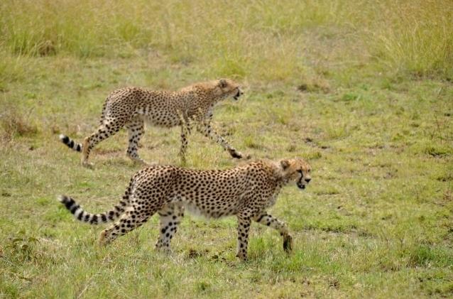 Guepardos en Serengeti. Por Marisa y Jose