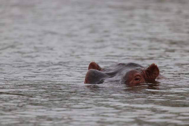 Hipopótamos, desde la embarcación. Por Josep