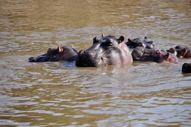 Hipopótamos en Serengeti. Por Marisa y Jose
