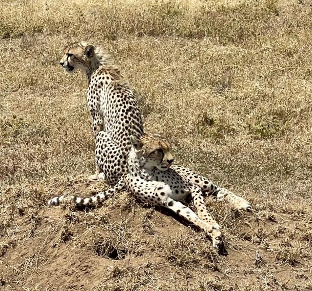 La elegancia del guepardo. Por Anna