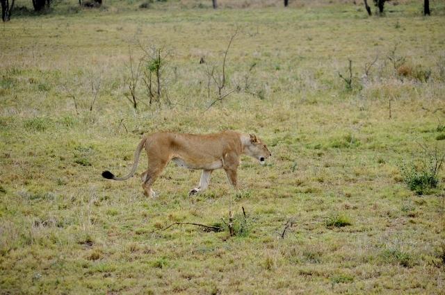 Leona en Serengeti. Por Marisa y Jose