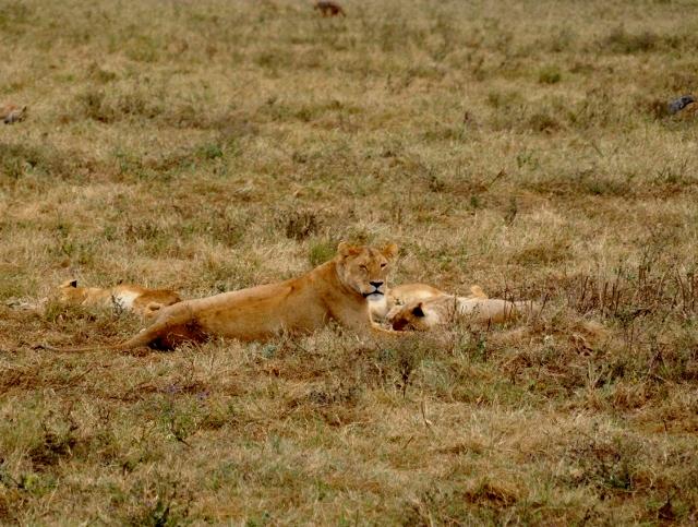 Leonas en Ngorongoro. Por Marisa y Jose