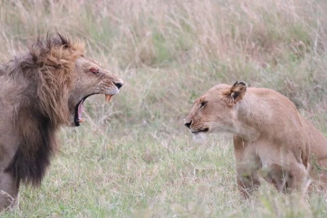 Leones en Masai Mara. Por Josep