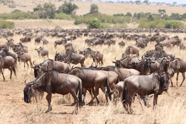 Migración de ñus en Masai Mara. Por Emma