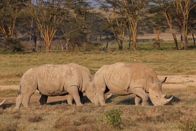 Rinocerontes en Nakuru. Por Josep