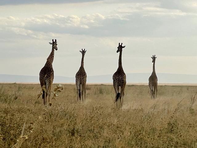 Ritmo pausado de las jirafas. Por Anna
