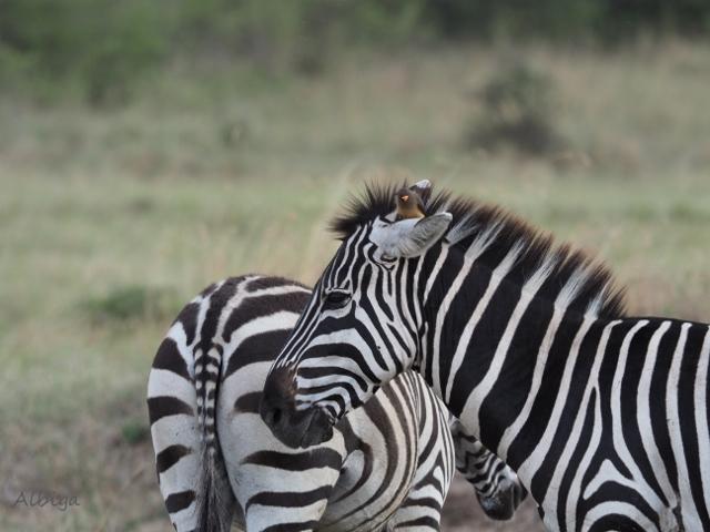 Cebras en Masai Mara. Por Alba