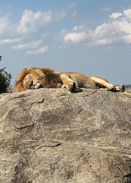 El descanso del león en Serengeti. Por Laura