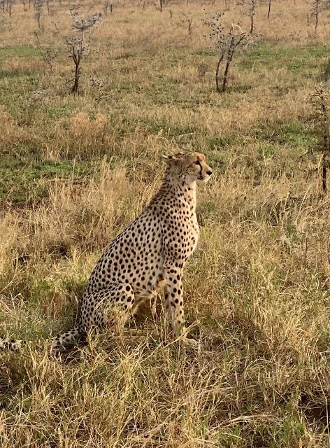 Elegante siempre el guepardo. Por Laura