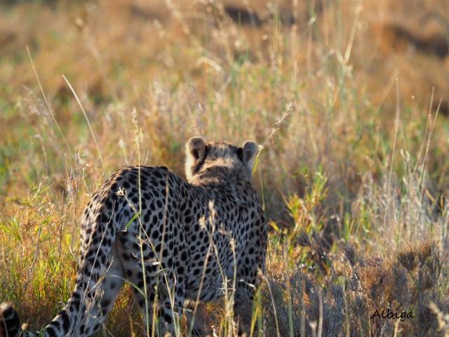 Guepardo en Serengeti. Por Alba