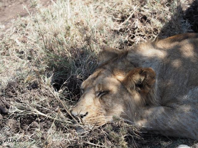 Leones en Serengeti. Por Alba
