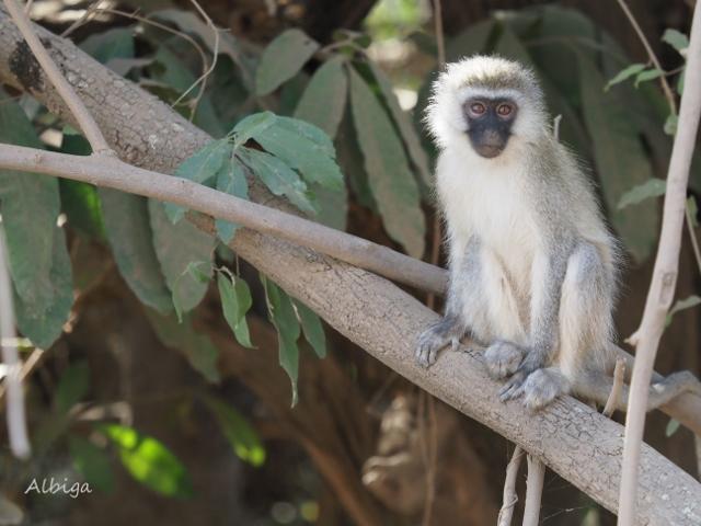 Mono verde en Manyara. Por Alba